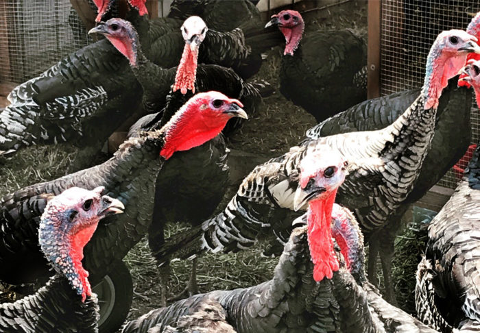 Bourbon Red Turkeys. (Photo credit: Shoshi Parks)
