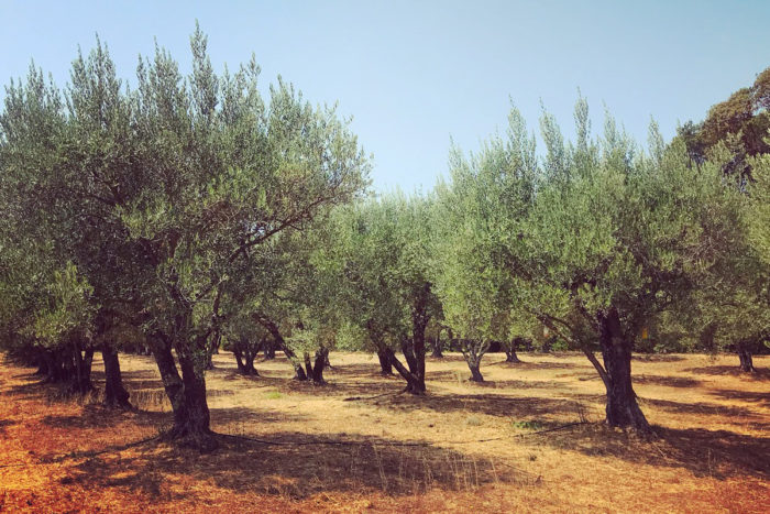 The historic olive groves at Long Meadow Ranch. (Photo credit: Shoshi Parks)