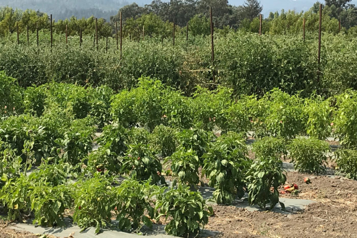Vegetables and grapevines growing at Long Meadow Ranch. (Photo credit: Shoshi Parks)