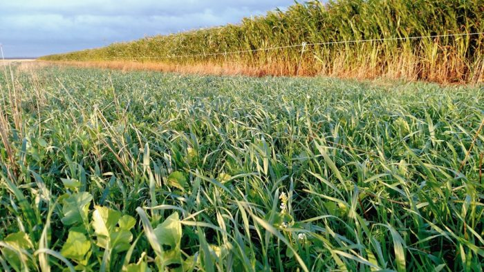 "Fall-seeded cover crop of oats, peas, lentils, and daikon radish is ""capturing"" sunlight on Brown's farm."