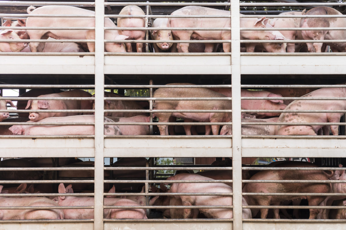 Why Are Sows in Factory Farms Dying in Surprising Numbers