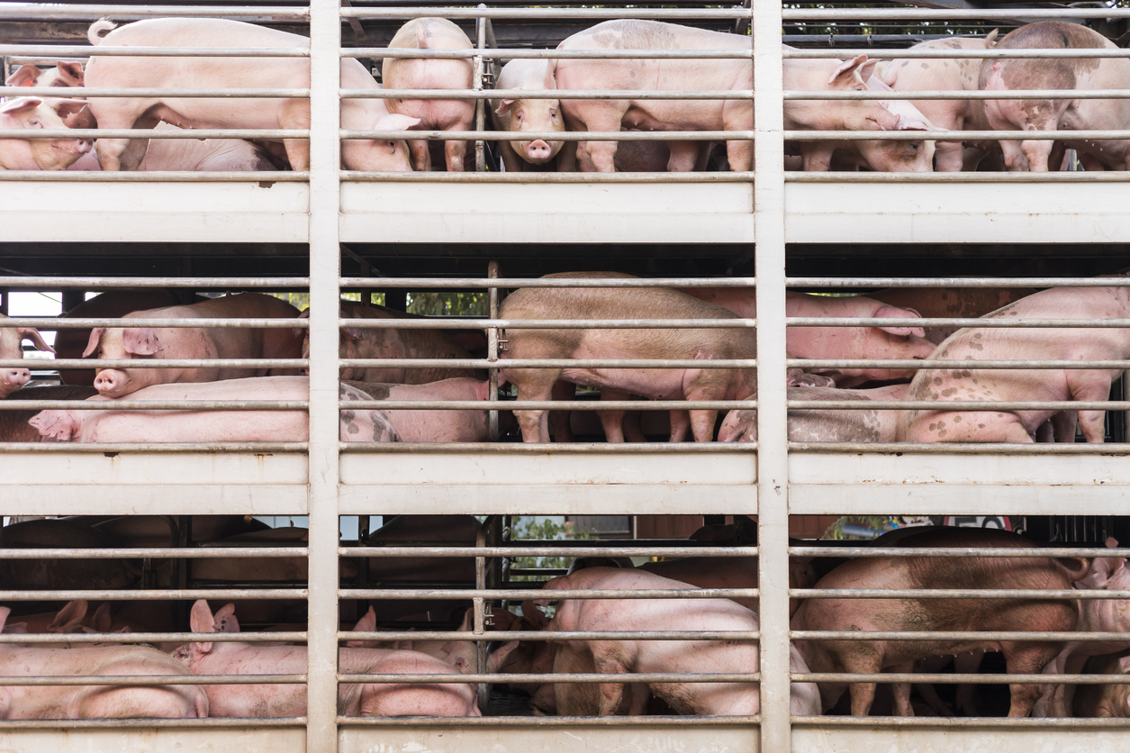 pigs being transported by truck