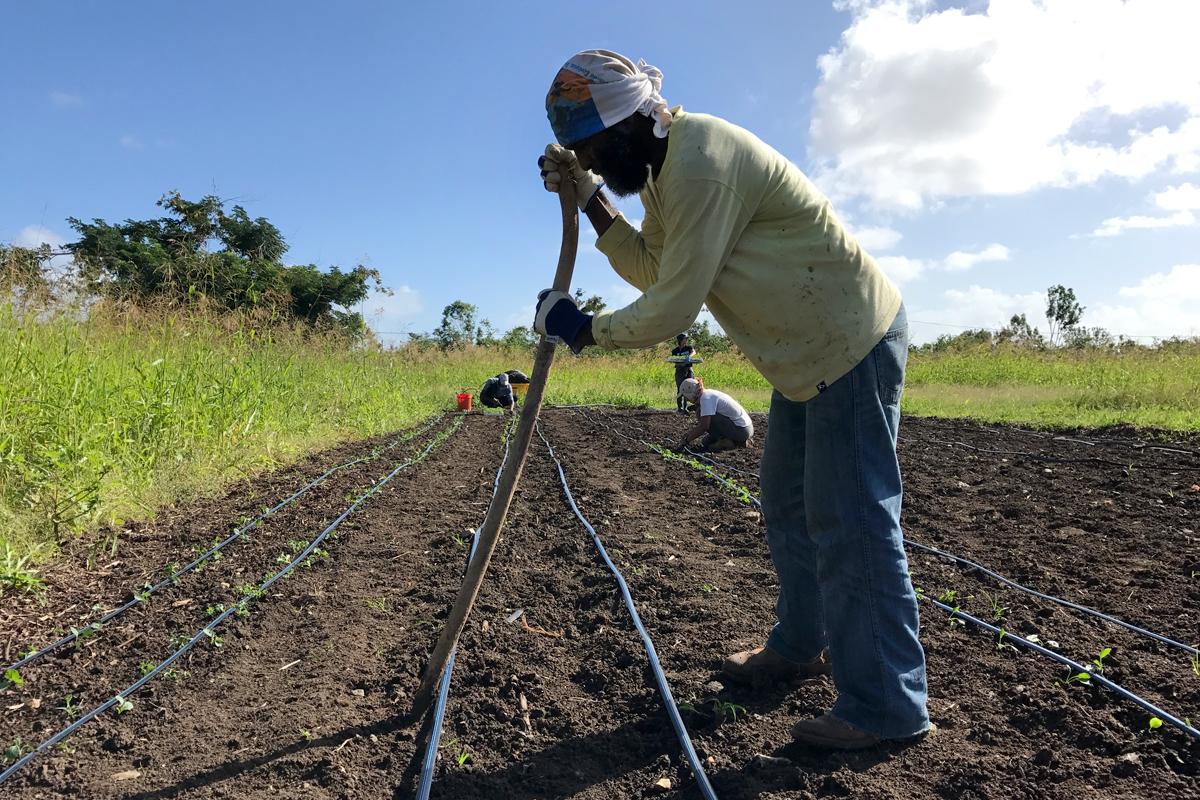Organización Boricuá member Jorge Cora from Finca Conciencia in Solidarity, Reconstruction, and Climate Justice Brigade in Sejah Farm, St. Croix