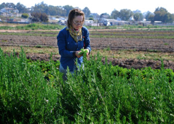 A farmer picking herbs at Suzie's Farm in San Diego