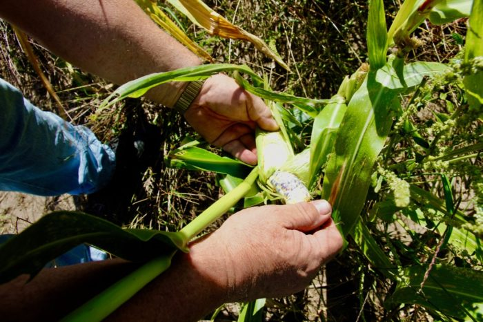 Traditional blue corn growing on the land the Tanderups recently gave to the Ponca Nation. (Photo by Twilight Greenaway.)
