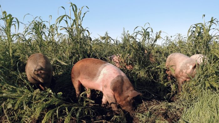 Gabe Brown's pigs in the field