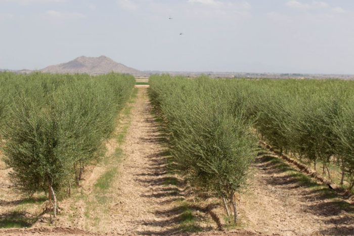 Gila River Farms recently planted olive trees on several acres, which should be ready for harvest this year, said Hector Garcia, assistant general manager. (Photo By Tayler Brown/Cronkite News)