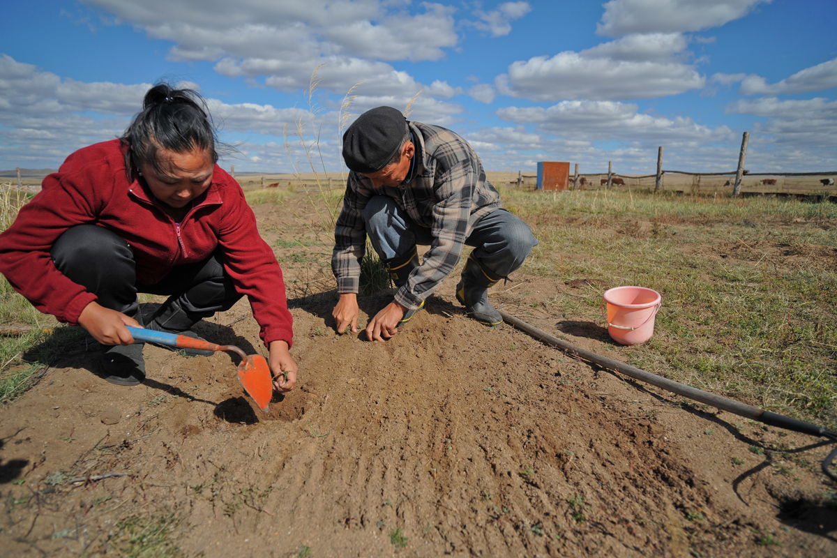 Herders cultivating fodder or animal feed that is more resilient to extreme weather changes, using plants that adapt to droughts. The Strengthening Carbon Financing for Regional Grassland Management is promoting climate smart agricultural activities. (Photo credit: Asian Development Bank)