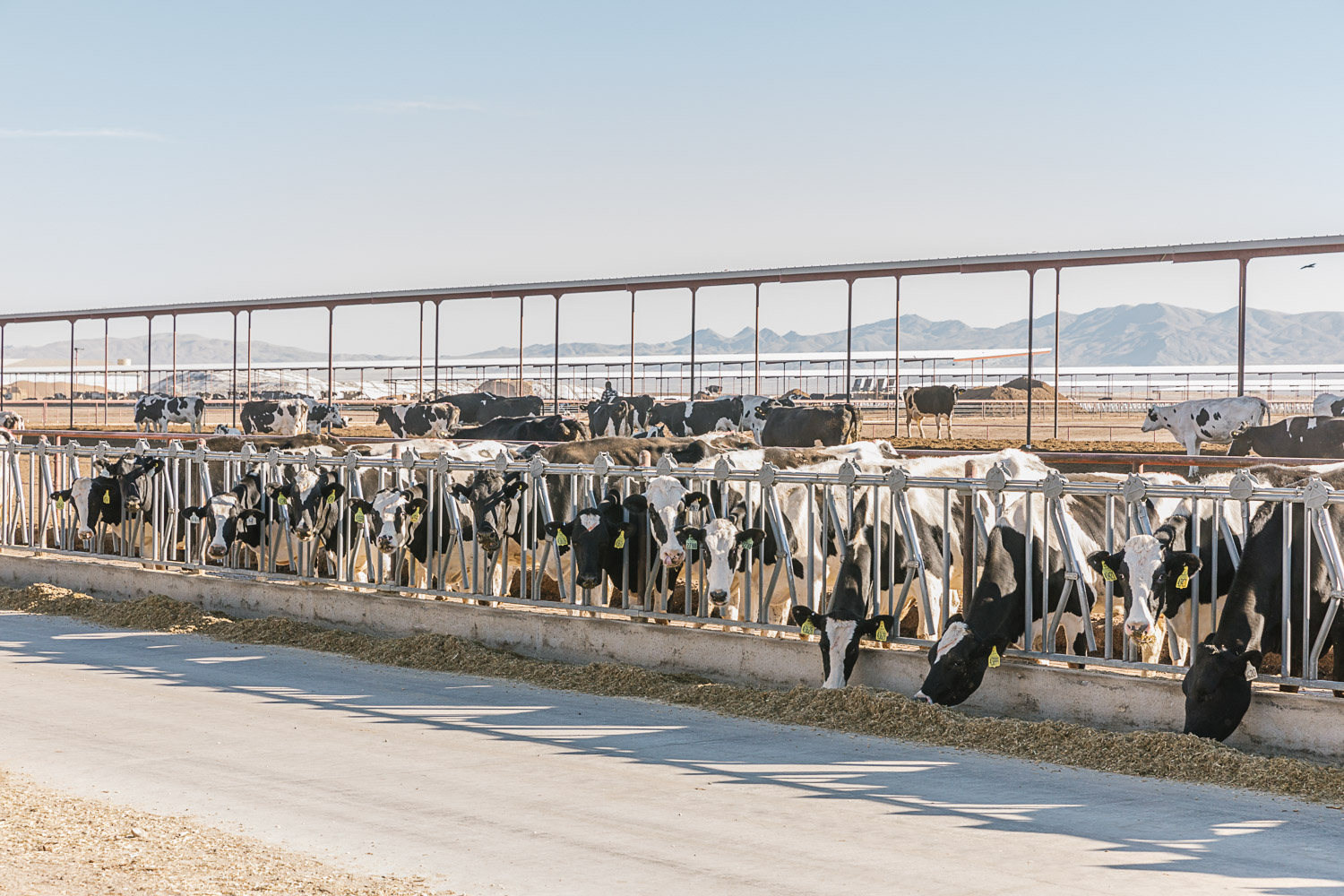 While Small Dairy Farms Shut Down This Mega Dairy Is Shipping Milk To China Civil Eats