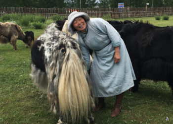 Milking cows in Mongolia. (Photo courtesy of the Khovsgol Dairy Project)