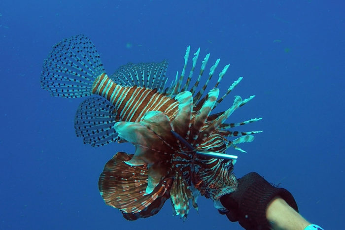 A lionfish caught in Florida. (Photo courtesy of Forever Young Charter Company)