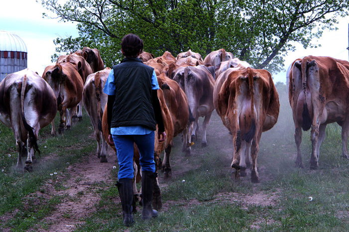 Farmer with cows, photo courtesy of the Local Farms Fund