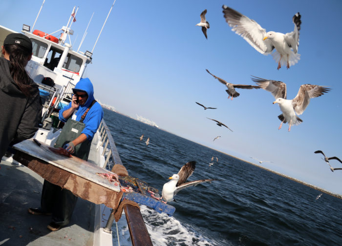 Seagulls stealing fish from a boat near Long Beach, California. (Photo by Petra Jezkova / iStock)