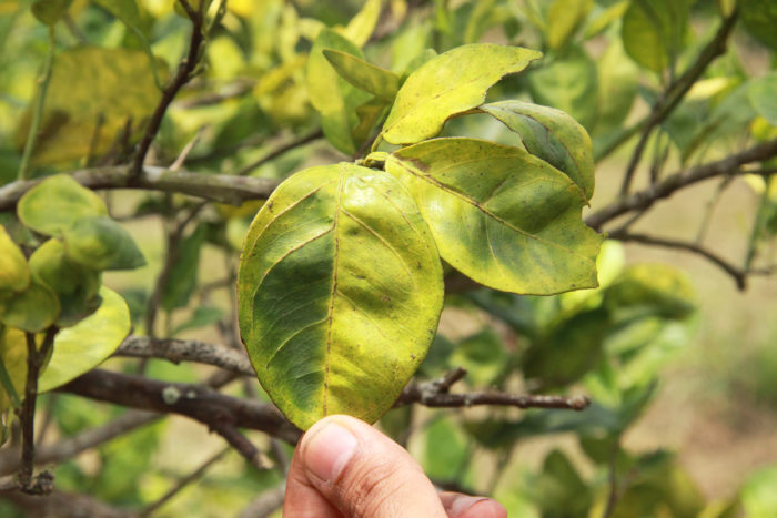 A citrus leaf infected with citrus greening or huanglongbing.