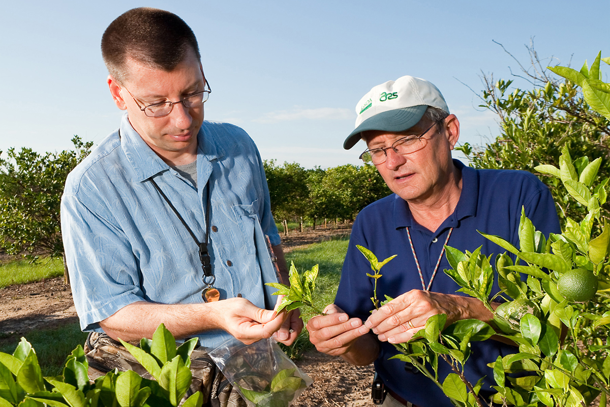 USDA Agriculture Research Service entomologists inspect Florida orange trees for Asian citrus psyllids. (USDA photo by Stephen Ausmus.)
