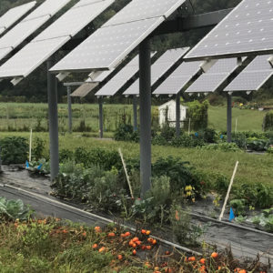 Tomatoes growing under solar panels at the University of Massachusetts.