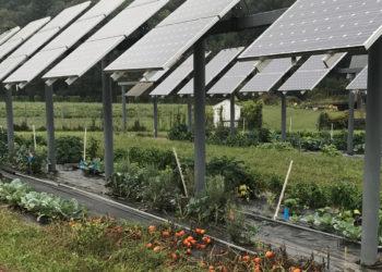 Tomatoes growing under solar panels at the University of Massachusetts.