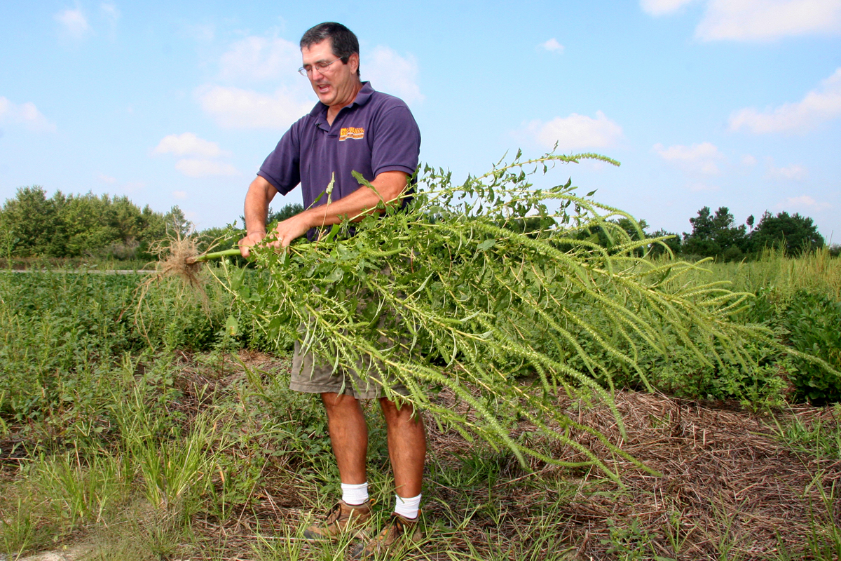 Mark VanGessel holding an invasive palmer amaranth plant. (Photo CC-licensed by Delaware Agriculture)
