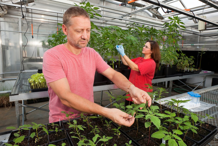 USDA plant physiologist Franck Dayan observes wild-type and herbicide-resistant biotypes of Palmer Amaranth (pigweed) as Mississippi State University graduate student, Daniela Ribeiro collects samples for DNA analysis. USDA photo by Stephen Ausmus.