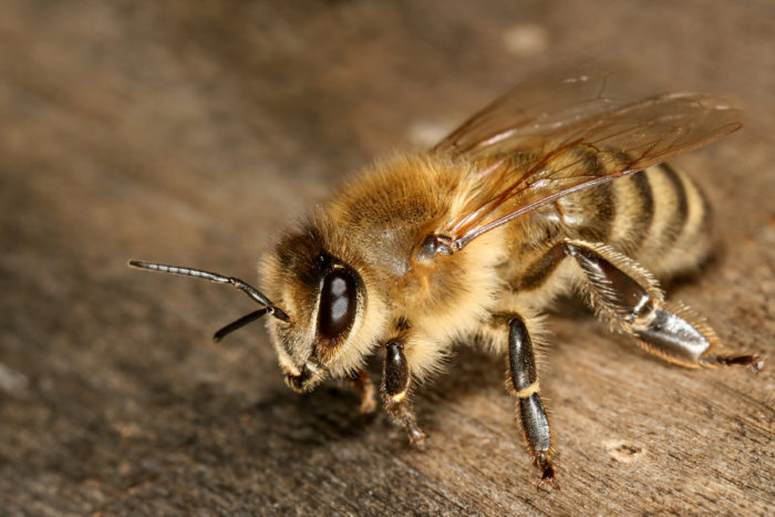 A Carniolan honey bee. (Photo CC-licensed by Richard Bartz)