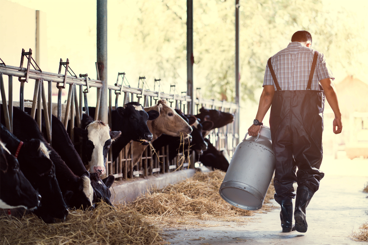 dairy farmer holding a milk jug in the barn with cows