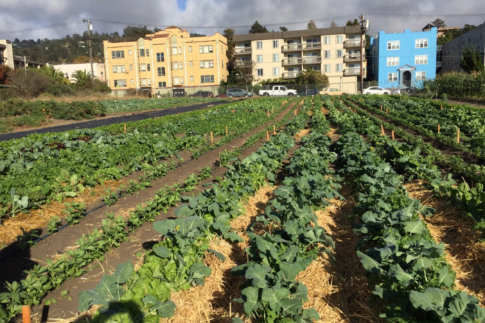 Research plots in Berkeley, Calif., testing agroecological management practices such as intercropping, mulching and green composting. (Photo CC-licensed by Miguel Altieri)