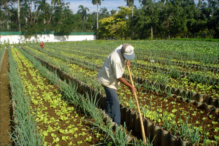 An organic farm in Havana, Cuba, that produces outputs averaging 20 kilograms (44 pounds) per square meter per year without agrochemical inputs. (Photo CC-licensed by Miguel Altieri)