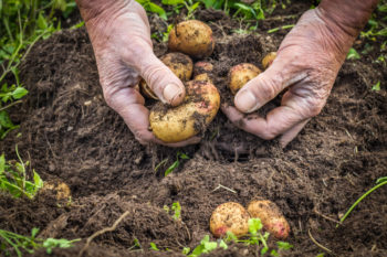 hands digging up potatoes from healthy soil