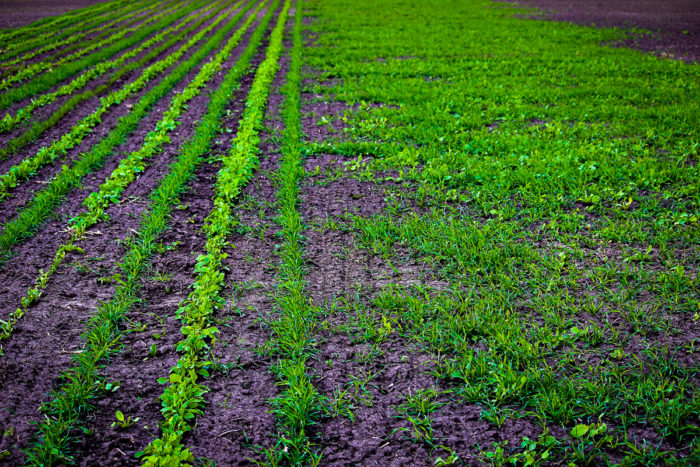 Cover crops planted at Hundley Whaley Research Center as part of a multi-year study looking at how different tillage systems and seeding systems effect yields of soybeans and corn. (Photo by Bruce Burdick for CAFNR)