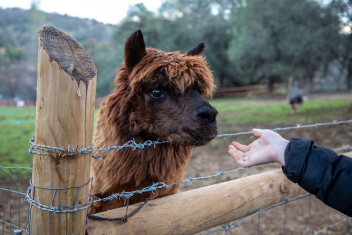 Clara Abrahams points out an alpaca as she leads a Sunday morning tour around the farm.