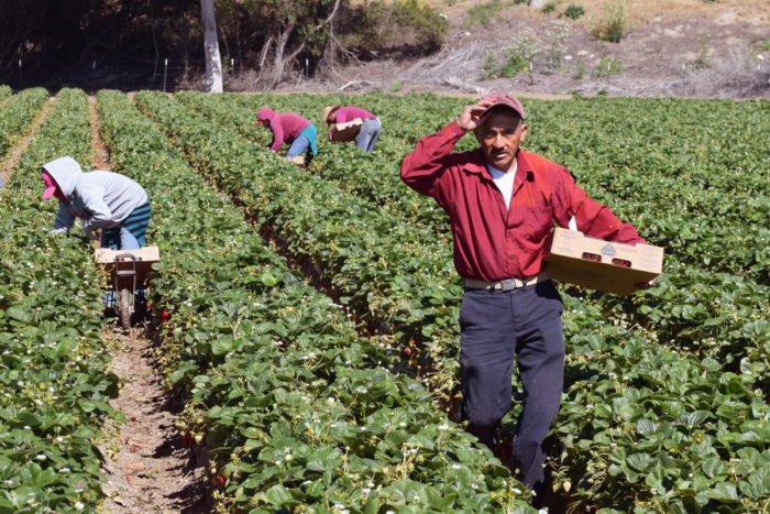 Seasonal farm workers pick and package strawberries in Salinas, Calif.