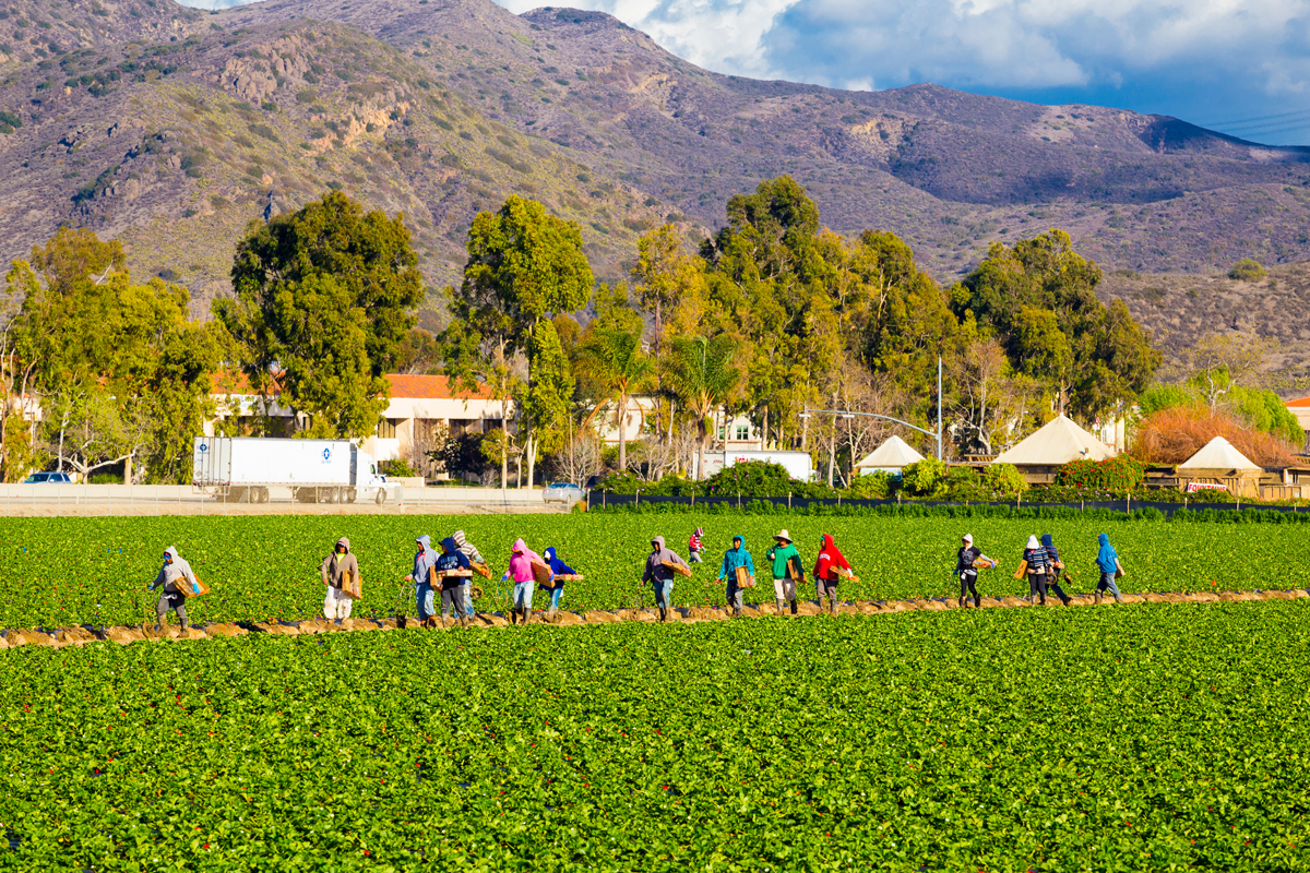 Agriculture workers pick strawberries from a produce farm in Camarillo, Calif.