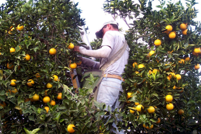 A farmworker picking citrus in Florida. (Photo courtesy of Nano Riley)