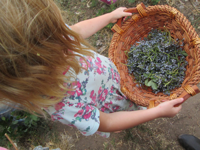 A Wild Roots student holding a basket of foraged elderberries. (Photo credit: Lia Grippo)