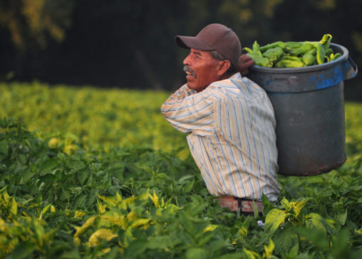 Mexican farmworkers (known as 'chileros') harvesting New Mexico's famed green chile. (Photo credit: Joseph Sorrentino / iStock)