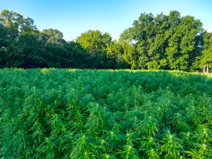 Farmers Bet Big on the South's First Organic Hemp