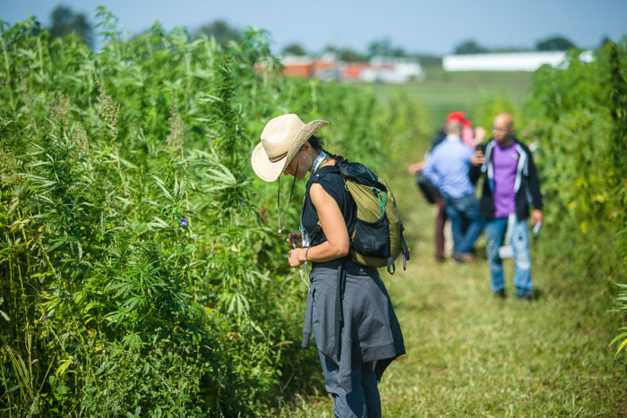 Inspecting the crop at UK's Industrial Hemp Field Day held at the UK North Farm. (Photo credit: UK College of Agriculture, Food & Environment)