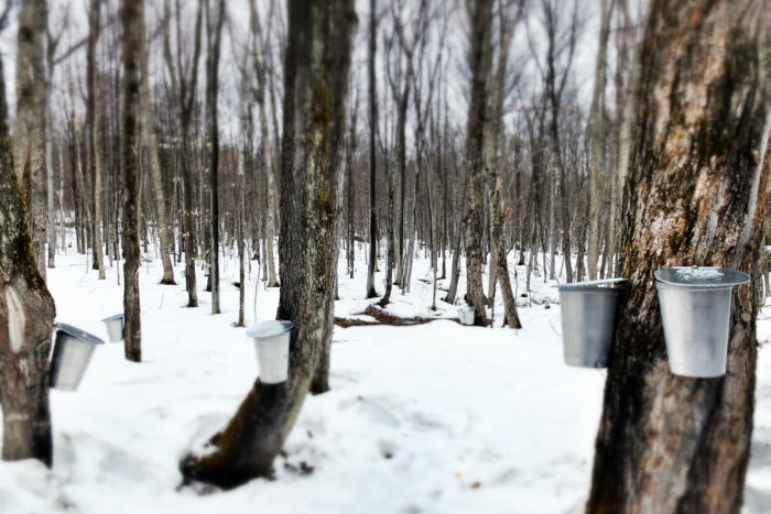 Tapped maple trees in Quebec. (Photo CC-licensed by ppdiaporama on Flickr)