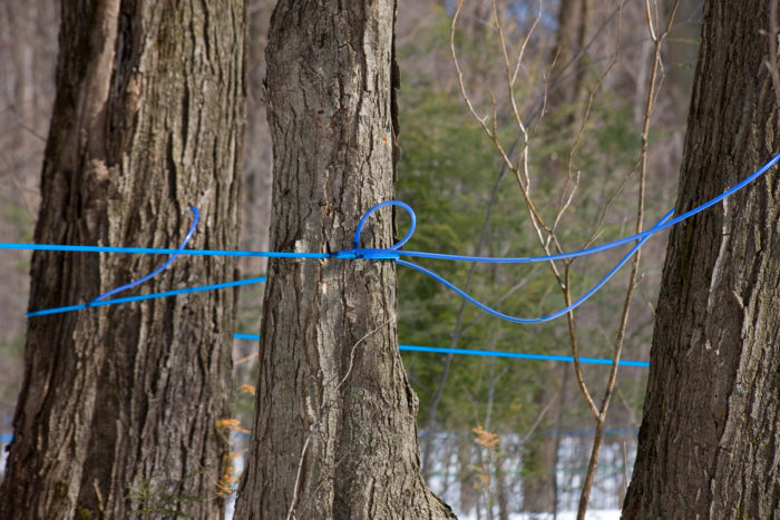 Plastic lines run from trees toward larger tubes to collect the sap and carry it to the boiler at Sand Road Maple Sugar Camp in Ontario. (Photo CC-licensed by Michel Rathwell)