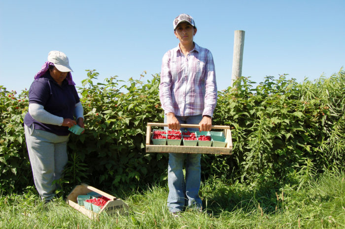 Two female farmworkers are harvesting raspberries on an Upstate NY farm. (Photo by Joseph Sorrentino / iStock)