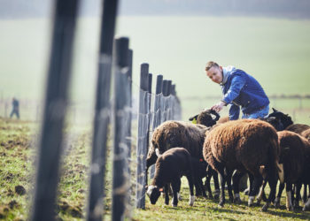 young farmer tending to his flock of sheep