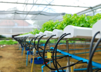 hydroponic growing plants in a greenhouse