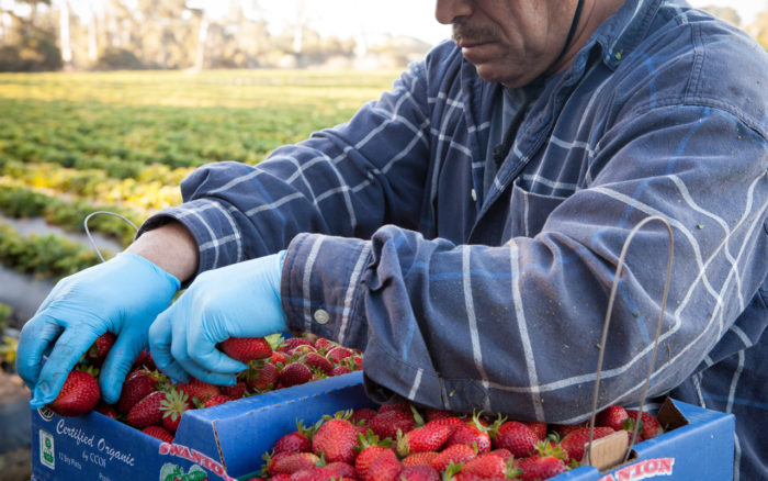 A berry farm worker packing a carton of strawberries. (Photo credit: Swanton Berry Farm, courtesy of AJP)