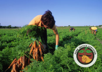 farm workers picking carrots in the field.