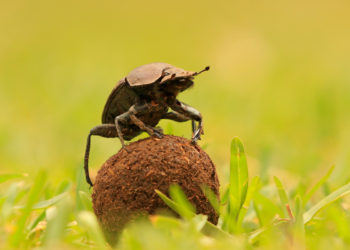 dung beetle on top of a ball of dung in a field.