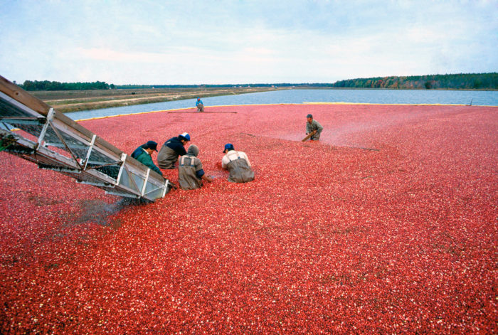 Farmworkers harvesting cranberries in New Jersey. (USDA photo by Keith Weller.)