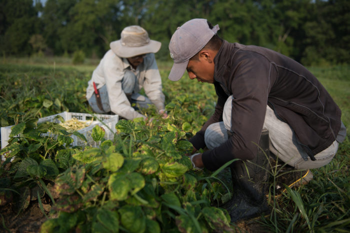 Workers harvest produce at Cottingham Farm in Easton, Md. (Photo CC-licensed by Keith Rutowski/Chesapeake Bay Program)