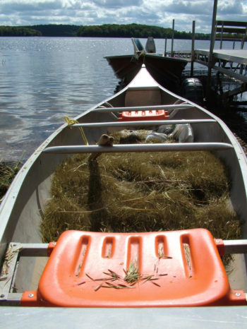 A boat-sized haul of wild rice.