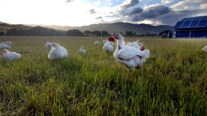 Emmer & Co.'s chickens in pasture. (Photo courtesy of Emmer & Co.)