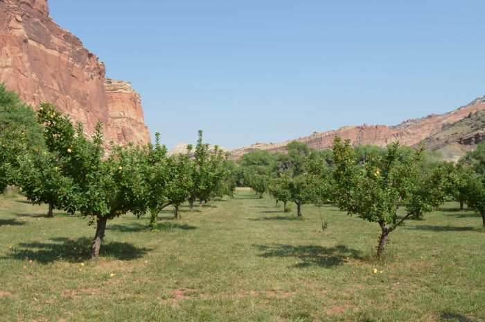 Apple trees in the Fruita District of Capitol Reef National Park. The future of the orchards in Fruita relies on revising maintenance practices to account for a changing climate and increasing numbers of visitors on the land.